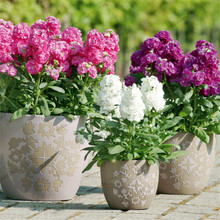 Matthiola 100 Seeds -(Matthiola Incana Ten Week Mix Color )Perfume Night scented  Plants bonsai Violet Flowers seeds(MAT01 #)