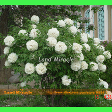 Perennial Shrub Tree Peony White Peony Flower Plant Seeds, 5 Seeds, Beautiful Garden Flowers-Land Miracle