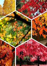 Red Yellow Orange Red Maple Tree Seeds, ., 50 Seeds / Pack, Acer Japan China America Maple Tree