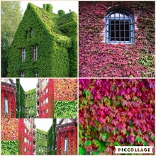 100% true ivy seeds outdoor creepers Mixed red green boston ivy seeds Drop Shipping parthenocissus tricuspidata seed - 30 pcs