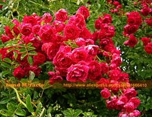 50 Seeds/Pack, Chinese Rose Climbing Flower Seeds, Red Rose Seeds Perennial Flower Garden Decor