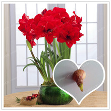 Buy True Red Hippeastrum Rutilum Bulbs, (Not Hippeastrum Rutilum Seeds),Amaryllis Flowers Symbolizes Love, Flower Plant -2 Bulbs for $1.49 in AliExpress store