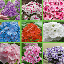 100PCS unique 24 different colors US phlox flowers potted bonsai seeds home garden