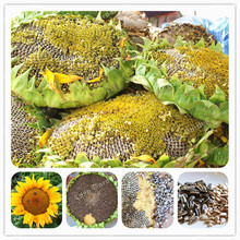 20 Pcs Sunflower Seeds Giant Sunflower Rare Flower Seeds For Home Garden planting Sunflower Seed Birds