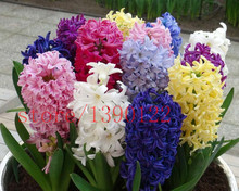 2015 new Hyacinthus Orientalis seeds, cheap Hyacinth seeds, Hyacinth potted seed, Bonsai balcony flower seeds for home garden