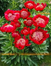'Walter Mains' Tree Peony Seeds, 5 Seeds/Pack, Rare Garden Flower Red Paeonia Suffruticosa-Land Miracle(China)