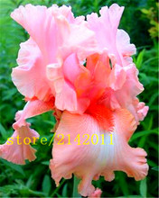 50pcs/bag pink iris seeds,bearded iris seeds,rare bonsai iris Phalaenopsis Orchid flower seeds,Nature plants for home garden
