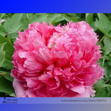 Heirloom 'Jin Zhang Fu Rong' Big Red Peony Tree Seeds, Professional Pack, 5 Seeds / Pack, Strong Fragrant Flower E3198