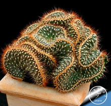 Big Sale!10Seed/Pack cactus Rebutia variety flowering color cacti rare cactus seed office mini plant succulent,#83JWHX