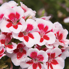 Buy 5pcs Imported Geranium Seeds Geranium 'Swizzle Stick' Perennial Rare Flower Seeds Hardy Plant Bonsai Potted Plant Free for $1.18 in AliExpress store