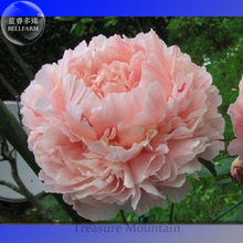 Heirloom Purely Pink Salmon Peony Tree, professional pack, 5 Seeds, big blooming double petals TS296T