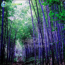 Rare purple Bamboo Seeds Bambusa black bamboo seeds planted courtyard 30 PCS