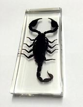 FREE SHIPPING Real Giant Forest Scorpion Lucite Handmade Heavy Jewelry Crafts(China)