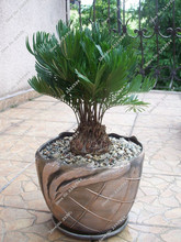Zamia Floeidana Coontie Palm Florida Native Cycad Tree Palms Plant Seed  Home Garden Ornamental Plant 10 seeds