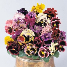 Original Packing Flower Seeds ,Big Flower Wave Pansy Seeds ,High germination Rate ,easy to grow ,Garden Decoration