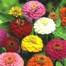 MIXED COLORS CALIFORNIA GIANT ZINNIA Elegans Flower Seeds 50pcs