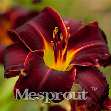 100PCSRare Unique  Hybrid Hemerocallis seed,tawny daylily,Potted planting,planting seasons, flowering plants  Special Offer