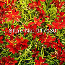 Coreopsis Tincoria Seed * 1 Pack ( 50 Seeds ) * Red Dwarf Plains Coreopsis * Garden Flower Seed *