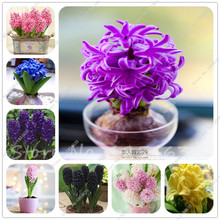 Hot sale!Hyacinth Bulb,Free shipping cheap perfume Hyacinth Bulb, mixing different color - 2 Pcs Hyacinthus Orientalis Bulb