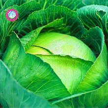 200pcs/bag giant cabbage seeds easy grow Delicious Fruits Vegetables Seed organic NO-GMO seeds free shipping for home garden(China)