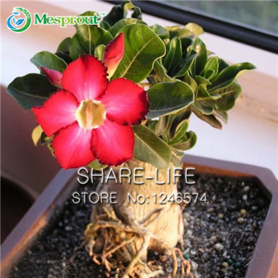 Flowers Seeds Red Desert Rose Potted Balcony Bonsai Adenium obesum  -  Share-life store