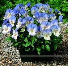 pansy (Viola cornuta) seeds rare indoor flower seeds in bonsai. 60pcs/bag mini pansy seeds for home garden plants flowers(China)