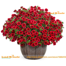 Crimson Red Calibrachoa Petunia Seed, 100 Seed/Pack, Very Beautiful Garden Ornamental Flowers Bonsai Balcony Plants-Land Miracle(China)