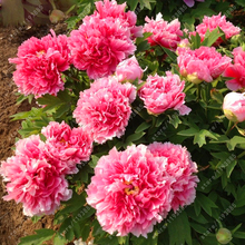 10 pcs/bag peony seeds Terrace Courtyard Garden Paeonia Suffruticosa Seeds perennial flower seeds potted plants for home garden