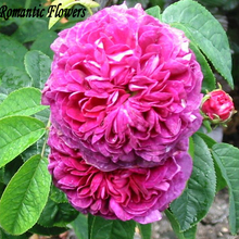 Heirloom Pink Damask Rose Bush Flower Seeds , 100 Seeds / Bag, Asaka Park Flower