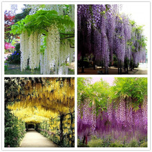 Wisteria Seeds 10seeds/pack,rare bonsai wisteria tree seeds Indoor ornamental plants flower seedsPurple yellow white pink Mix(China)