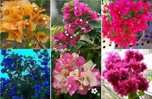 free ship 40 * Mix-color Bougainvillea Spectabilis Willd Seeds Bonsai Flower Plant Seeds