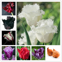 2 bulbs true tulip bulbs,tulip flower,(not tulip seeds),flower bulbs,outdoor plant,Natural growth,bonsai pot for home garden