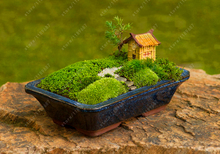 200pcs bonsai moss seeds,Sagina Subulata Seeds, decorative grass seeds,potted plant for DIY home garden
