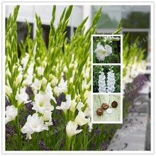 2 BulbsTrue White Gladiolus Bulbs,Beautiful Gladiolus Flower,(Not Gladiolu Seed),Flower Symbolizes Longevity,Plant Garden(China)