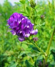 Free Shipping 1000 pcs Alfalfa Seeds, Purple flower clover Seeds, The animal husbandry grass seeds