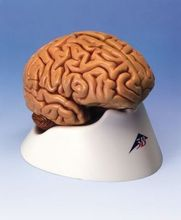 13*14*17.5cm 0.9kg Brain model, the 5 part of the human brain tissue model of the nervous system