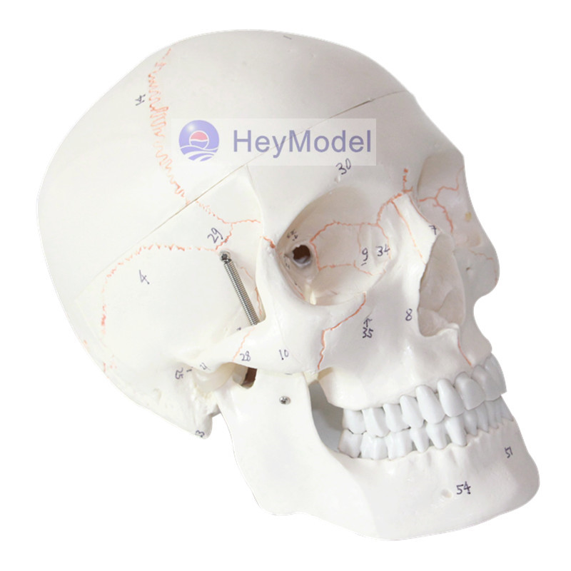 HeyModel Skull Model Artificial 1: 1 Size with Suture Numbers<br>