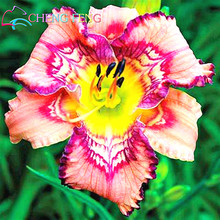 30 Pcs Hybrid Mix Black Daylily Flowers Seed Rare Colour Hybrid Hemerocallis Seeds New Day Lily Seed Packet Garden Decoration *