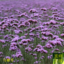 Excluded Regular Beautifying Imported Verbena Seeds Top Dragon Grass Seedling Mustard Thymus 100 seeds(ma bian cao)(China)