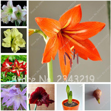 Buy True Amaryllis Bulbs,Hippeastrum Bulbs bonsai flower bulbs Amarilis Rizomas Bulbos Barbados Lily potted garden plant 2 bulb for $2.04 in AliExpress store