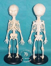 PVC baby skeleton mannequin human skeleton model sketch model of human fetal bone specimens model