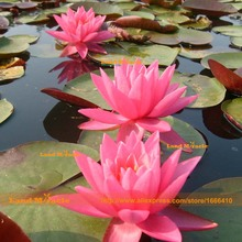 2 Seeds/pack, Outdoor Plants Small Water Lily Seeds, Pink Lotus Seeds, Potted Nelumbo Nucifera(China)