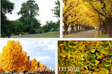 Promotion New Home Garden Plant 20 Seeds Ginkgo seeds biloba, Maidenhair Tree, Seeds (Fall Colors) Seeds Free Shipping Novel See