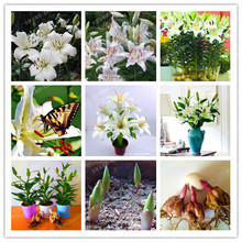 Buy 2 Bulbs 100% True White Lily Bulbs (Not Lily Seeds) Flower Indoor Plant Radiation Absorption Natural Growth Bonsai Flower for $1.74 in AliExpress store