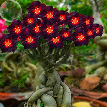 Rare Brown Black Adenium Desert Rose With Fire Red Heart Flower 1PCS Seeds Bonsai Compact Single Petal Flowers(China)