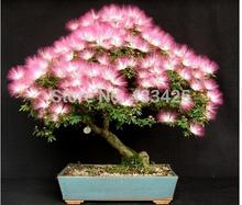 20 seeds Albizia Julibrissin Tree Seeds (MIMOSA/PERSIAN SILK TREE) Mini Potted Bonsai Flower ,DIY home Miniature Garden