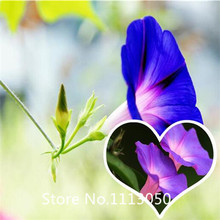 Garden Morning glory seeds mixed color potted flowers seeds - 200pcs garden flower seeds free shipping for Christmas