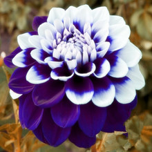 Tomo Pilot Dahlia flower seeds,beautiful flower and easy to grow, Free Shipping 50 Seeds/pack