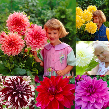 20 pcs/bag Multi-color dahlia seeds, dahlia flower, bonsai flower seeds for home garden plant pot High sprouting easy grow
