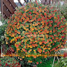 200 Seeds, Hanging Calibrachoa Golden Red Petunia Flower Seeds, Annual Ornamental Plant DIY Garden & Balcony Pot-Land Miracle(China)
